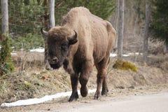Bison marchant dans la rue d'un village de forêt de Bialowieza photo libre de droits
