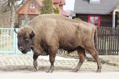 Bison marchant dans la rue d'un village de forêt de Bialowieza photographie stock