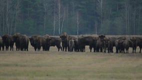 Bison marchant dans le domaine clips vidéos