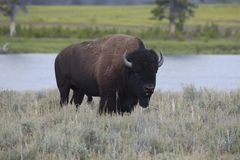 Bison in the meadow Royalty Free Stock Images