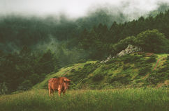 Bison in the meadow, early morning Stock Images
