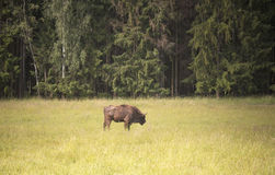 Bison in the meadow by the forest, Lithuania Stock Photo