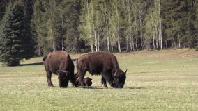 Bison in Meadow stock video