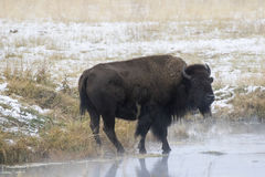 BISON IN MEADOW STOCK IMAGE Royalty Free Stock Photos
