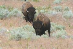 Bison Meandering Through Sagebrush Habitat Royalty Free Stock Photos