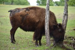 Bison med en klåda arkivfoton