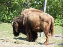 Bison med hans baksida till kameran royaltyfri bild