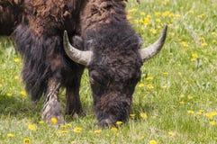 Bison med stora horn arkivfoton