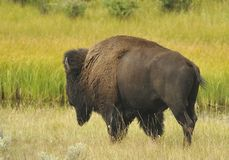 Bison Migrating. Lonely Bison heading to higher land stock photography