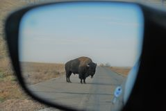 Bison in Mirror stock image