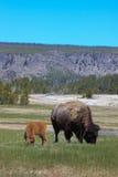 Bison mit Kalb Stockfotos