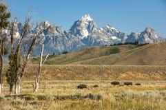 Bison mit Kalbweg durch Wiese Großartiger Teton-Staatsangehöriger stockfotos