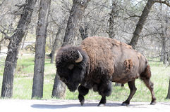 Bison molting. Lone buffalo molting walking in forest stock photos
