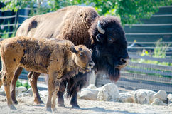 Bison mom and baby Stock Photography