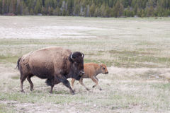 Bison Mom with Calf. Bison Mom walking with Calf across field royalty free stock photography