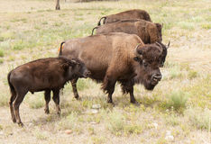 Bison Mom and Son Stock Photography