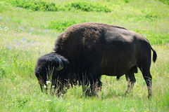 Bison - Montana arkivfoton