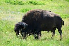 Bison - Montana. Bison American Buffalo grazing in Montana range-land Stock Photos