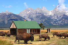 Bison and Mormon Row Barn in the Grand Tetons Stock Photo