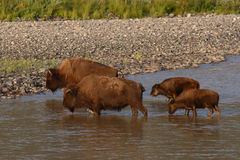 Bison Mothers And Calves. A pair of American Bison mothers and calves crossing the Lamar River in Yellowstone National Park Royalty Free Stock Images