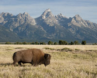 Bison moving across the grassland with snowy mountain peaks in the background Royalty Free Stock Image