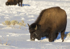 Bison moving crater in snow with face for forage for grass in Te Royalty Free Stock Photos