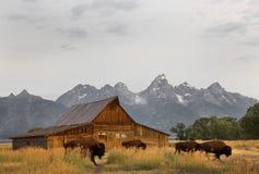 Bison moving Morman Farm, Grand Tetons National Park, Wyoming Stock Photography