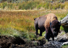 Bison in Mud Hole. American Bison standing next to mud hole in Yellowstone National Park, Wyoming stock images