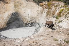 Bison and Mud Volcano. Bison at Mud Volcano in Yellowstone National Park in Wyoming Stock Image
