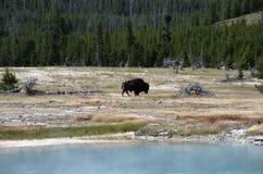 Bison nära den ljusbruna handfatYellowstone nationalparken Arkivbilder