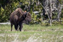 Bison in Nationalpark Stockbilder