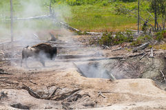 Bison near the Geyser Stock Photo