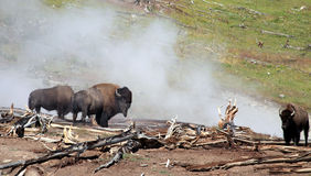 Bison near hot spring stock photo