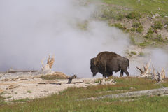A Bison near a spewing geyser. Stock Photography