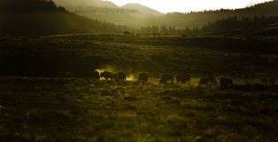 Bison at nightfall Royalty Free Stock Photos