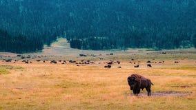 Bison- och bisonflock, Yellowstone royaltyfria bilder