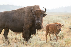 Bison och kalv, Yellowstone Royaltyfria Bilder