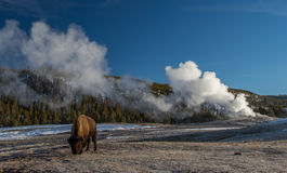 Bison and old faithful geyser Royalty Free Stock Image