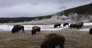 Bison at Old Faithful, Yellowstone National Park