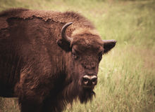 Bison with one horn Royalty Free Stock Photography