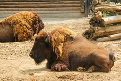 Free Bison, Or European Bison Lat. Bison Bonasus Is A Species Of Animals Royalty Free Stock Photos - 132568778