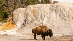 Bison Beside Orange Spring Mound Royalty Free Stock Photos