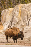 Bison Beside Orange Spring Mound Royalty Free Stock Photography