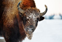 Bison outdoor in winter Stock Photography
