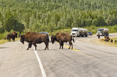 Bison own the Alaska highway Royalty Free Stock Photography