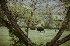 Bison på Custer State Park fotografering för bildbyråer