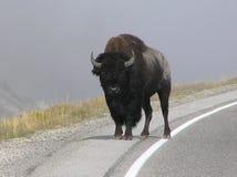 Bison på kanten av vägen i den Yellowstone nationalparkvägen, WY royaltyfri foto