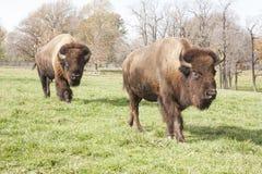Bison på lån lantgård Royaltyfria Bilder