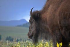 Bison på sidan av vägen i Yellowstone royaltyfria bilder
