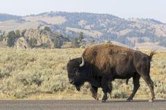 Bison på vägen Arkivbild